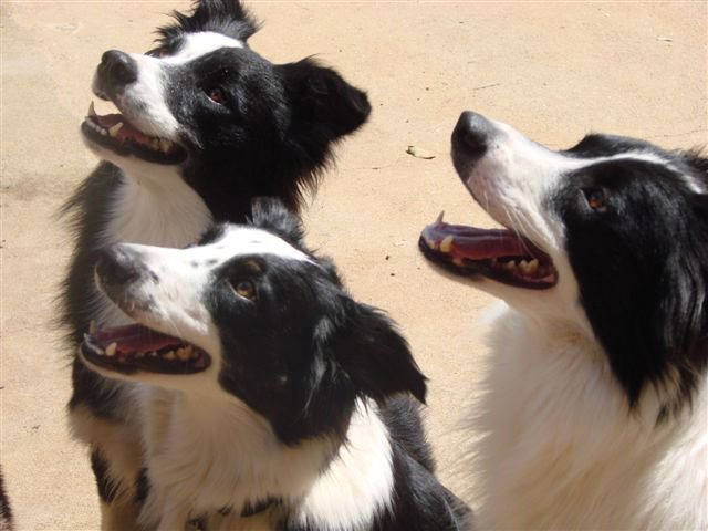 Anakin, Radha e Al Capone - Border Collies