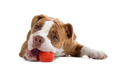 Cachorro mordendo tudo precisa de adestramento - Tudo de Cão