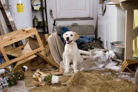 Cena do filme: Marley & Eu - Cachorro mordendo tudo